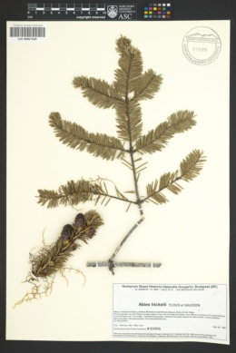 Image of Abies hickelii