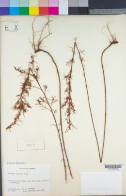 Image of Ludwigia linearis