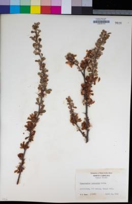 Image of Chaenomeles speciosa