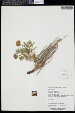 Lomatium latilobum image