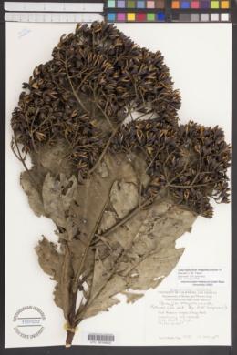 Image of Calycophyllum megistocaulum