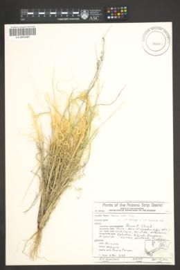 Panicum hallii image