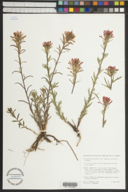 Castilleja applegatei subsp. pinetorum image