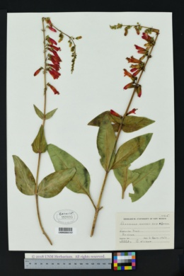 Penstemon eatonii image
