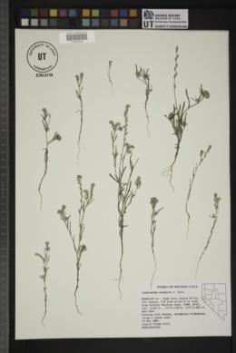 Cryptantha scoparia image
