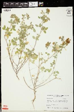 Image of Trifolium boissieri