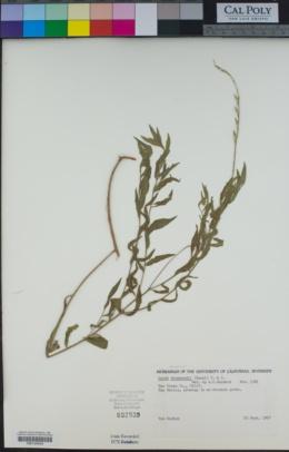 Image of Oenothera xenogaura