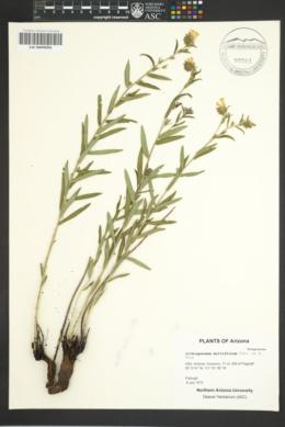 Lithospermum multiflorum image