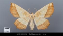 Euchlaena serrata image