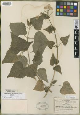 Brickellia cardiophylla image