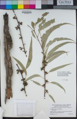 Image of Eucalyptus bridgesiana