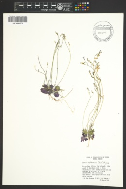 Image of Lobelia goldmanii