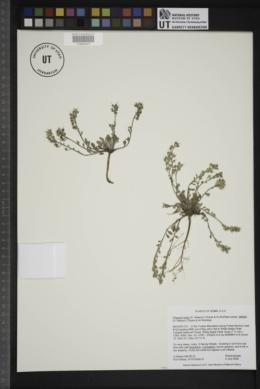 Physaria kingii subsp. latifolia image