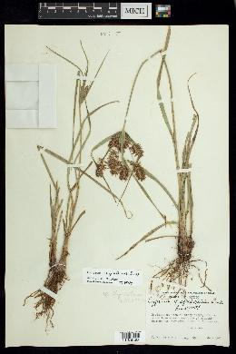Cyperus thyrsiflorus image