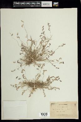 Image of Chondrosum simplex