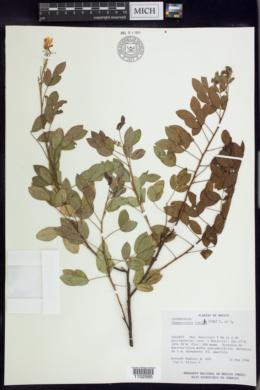 Chamaecrista viscosa image