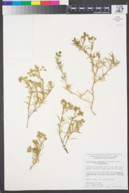 Spergularia macrotheca var. macrotheca image