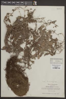 Image of Myosotis azorica