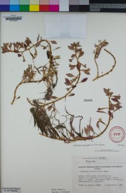 Image of Ludwigia inclinata