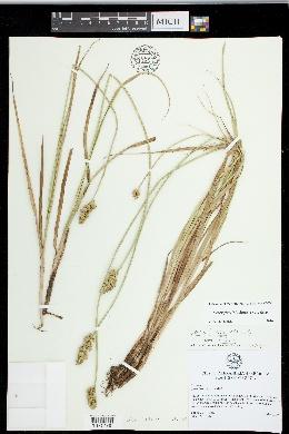 Carex fissa image