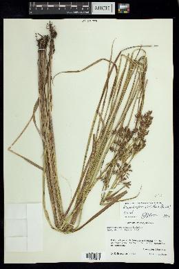 Image of Rhynchospora velutina