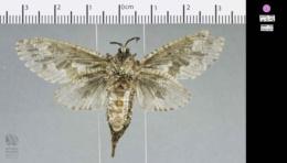 Prionoxystus robiniae image