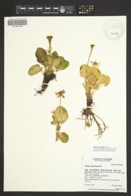 Image of Caltha chionophila