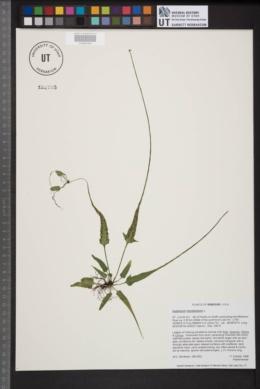 Asplenium rhizophyllum image