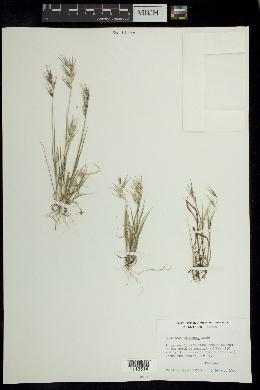 Bouteloua alamosana image