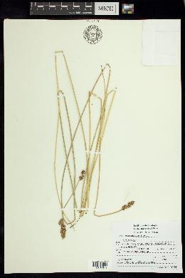 Image of Carex marianensis