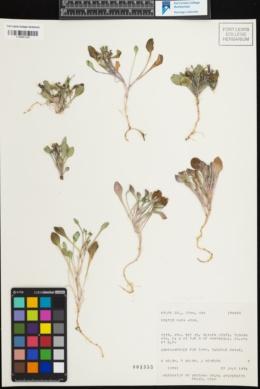 Image of Crepis nana