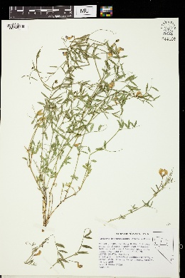 Lathyrus hitchcockianus image