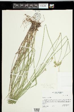 Carex tetrastachya image