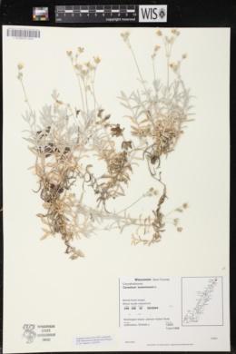 Cerastium tomentosum image