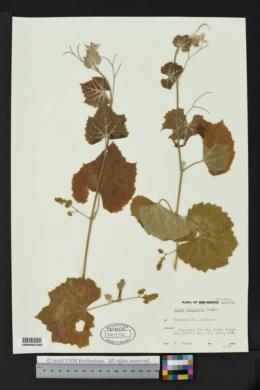 Vitis arizonica image