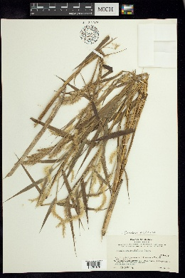 Image of Cenchrus prolificus