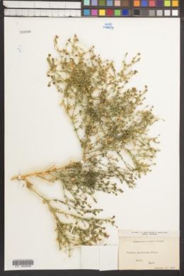 Image of Fagonia parviflora