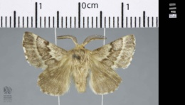 Malacosoma californica image