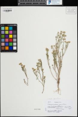 Image of Arida parviflora