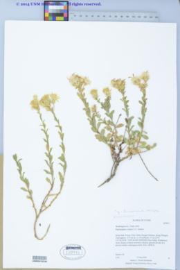 Image of Ericameria crispa
