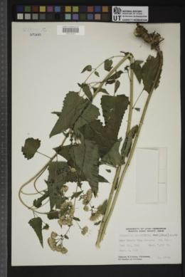 Brickellia grandiflora image