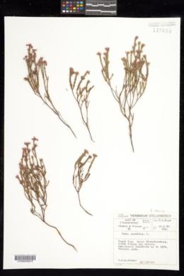 Image of Erica corifolia