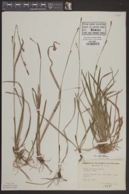 Carex saltuensis image