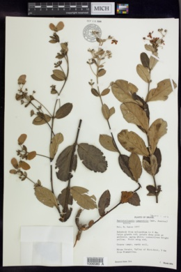 Image of Banisteriopsis campestris