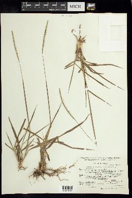 Image of Paspalum adoperiens