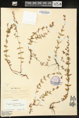 Cuphea glutinosa image