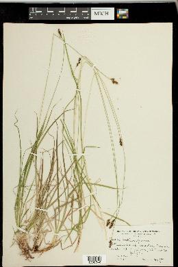 Carex stevenii image