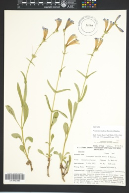 Image of Penstemon pudicus