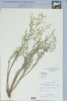 Descurainia brevisiliqua image