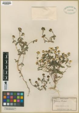 Image of Zinnia bicolor